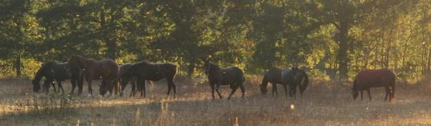Eine Pferdeherde, grasend auf der Wiese. In goldenes Dämmerlicht getaucht.