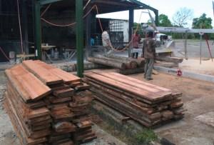 illegal-logging-of-coconut-tree