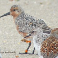 List Red Knot as a Threatened Species?
