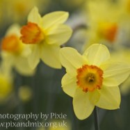 Daffodils - Flowers