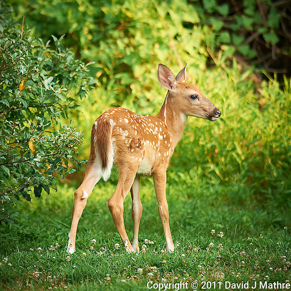 Blue Eyed Fawn. Backyard Nature in New Jersey. Image taken with a Nikon D3x and 600 mm f/4 lens (ISO 400, 600 mm, f/4, 1/400 sec). Image processed with Capture One 6 Pro, Nik Define 2, and Photoshop CS5. (David J Mathre)