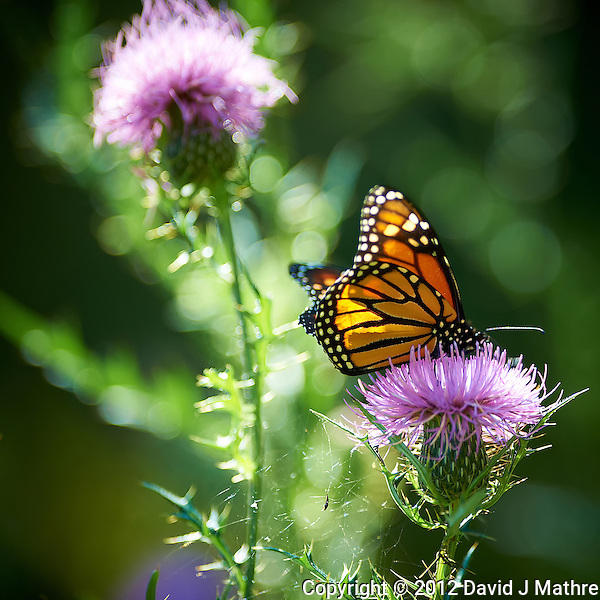 Late Monarch Butterfly on a Thistle Bloom. Fall Nature in New Jersey. Image taken with a Nikon D4 and 300 mm f/2.8 VR lens. (ISO 110, 300 mm, f.2.8, 1/320 sec). (David J Mathre)