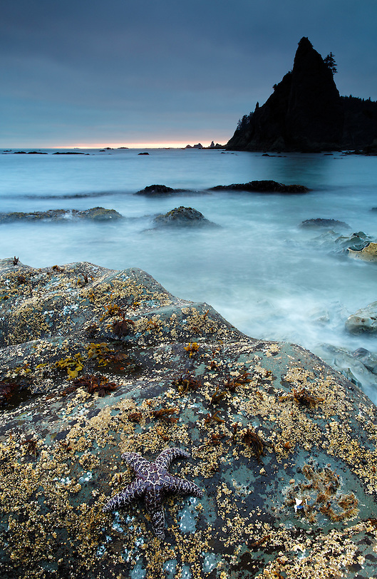 Seastar and sea stack at dusk, Rialto Beach, Olympic National Park, Washington State, USA (Copyright Brad Mitchell Photography.9601 Wall St.Snohomish, WA 98296.USA.425-418-7279.brad@bradmitchellphoto.com)