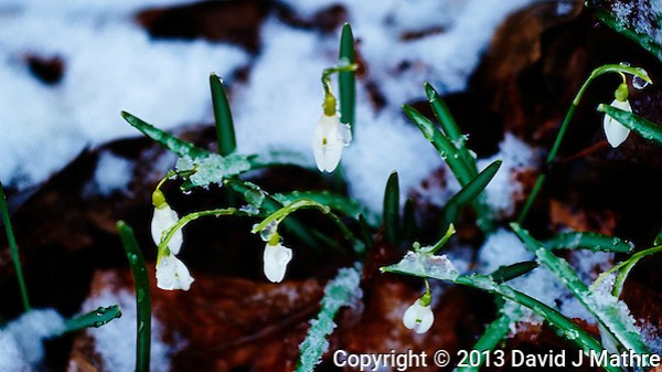 Late Winter Snow on Snow Drop Blooms. Image taken with a D3s and 85 mm f/2.8 PC-E lens (ISO 800, 85 mm, f/4, 1/250 sec) (David J Mathre)