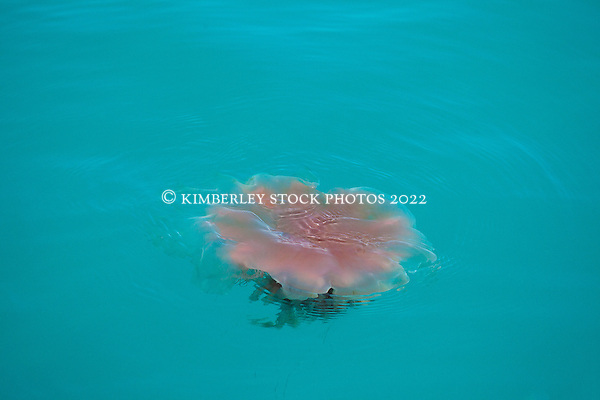 A jellyfish floating off Broome's Cable Beach.  There are seasonal innundations of these harmless jellyfish along the coast. (Annabelle Sandes/© Annabelle Sandes | Kimberley Media 2012)