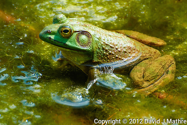 Bullfrog in a Pond at the Sourland Mountain Preserve. Summer Nature in New Jersey. Image taken with a Nikon 1 V1 + FT1 + 70-300 mm VR lens (ISO 200, 300 mm, f/5.6, 1/320 sec) and monopod. FOV Equivalent to ~ 810 mm on a 35 mm image sensor. (David J Mathre)