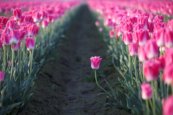 One pink tulip standing out from row, Mount Vernon, Skagit Valley, Skagit County, Washington, USA (Brad Mitchell)