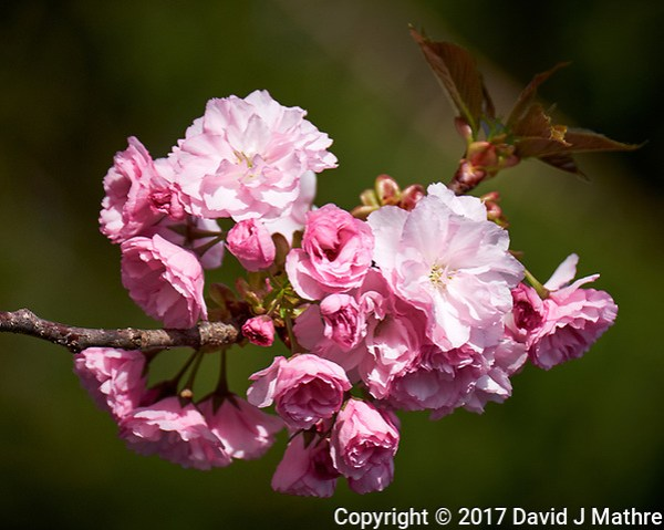 Plum tree blooms my front yard. Spring in New Jersey. Image taken with a Fuji X-T1 camera and 100-400 mm OIS lens (ISO 200, 190 mm, f/5, 1/850 sec). (David J Mathre)