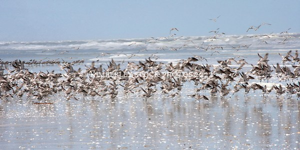 Flocks of shore birds rise by the water at Eighty Mile Beach. (Annabelle Sandes/© Annabelle Sandes | Kimberley Media 2010)