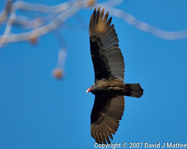 Turkey Vulture soaring in the morning sun. Image taken with a Nikon D2xs camera and 80-400 mm VR lens (ISO 200, 400 mm, f/5.6, 1/500 sec). (David J Mathre)