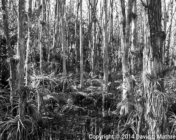 Swamp walk with Kristen and Angela in the Everglades behind  Clyde Butcher's Big Cyprus Gallery. Image taken with a Leica X2 camera (ISO 100, 24 mm, f/4, 1/80 sec). (David J Mathre)