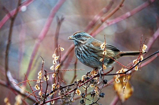Pine siskin (Spinus pinus) perched on branch eating winter seeds, near Nooksack River, Washington state, USA (Brad Mitchell Photography)