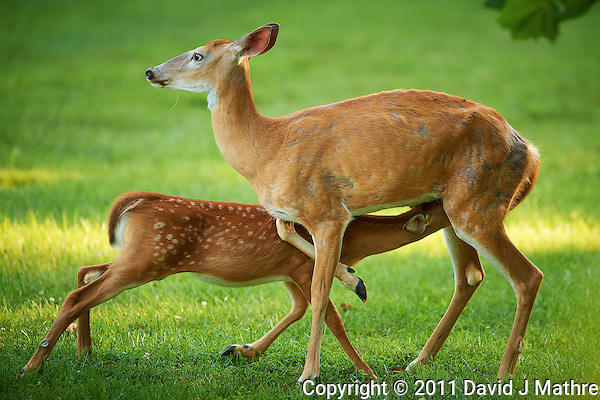 Milking Time Fawn and Doe.  Summer Backyard Nature in New Jersey. Image taken with a Nikon D3s and 400 mm f/2.8G II lens (ISO720, 400 mm, f/2.8, 1/400 sec). (David J Mathre)