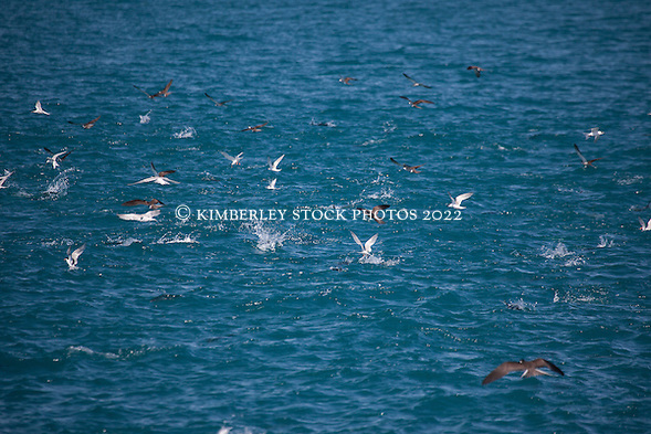 Brown boobies and terns swoop on a school of fish to the south of Adele Island. (Annabelle Sandes/© Annabelle Sandes | Kimberley Media 2012)