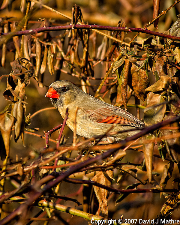 Female Northern Red Cardinal in the afternoon sun. Backyard winter nature in New Jersey. Image taken with a Nikon D2xs camera and 80-400 mm VR lens (ISO 200, 400 mm, f/5.6, 1/640 sec). (David J Mathre)
