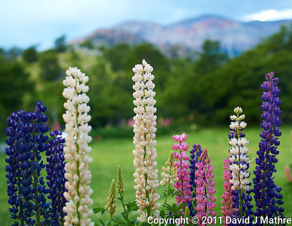 Lupines at Hosteria El Pilar in El Chalten, Argentina - Patagonia. Image taken with a Nikon D3s and 50 mm f/1.4G lens (ISO 400, 50 mm, f/2.8, 1/250 sec). (David J Mathre)