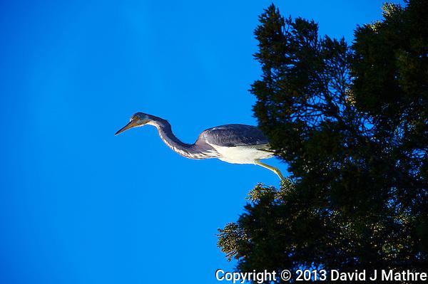 Great Blue Heron on a Cedar. Looking Up Through the Sunroof.  Black Point Wildlife Road in Merritt Island National Wildlife Refuge. Image taken with a Nikon D700 and 28-300 mm VR lens (ISO 200, 300 mm, f/9, 1/320 sec). (David J Mathre)