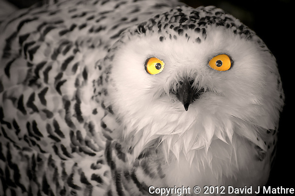 Female Snowy Owl at the Antwerp Zoo. Image taken with a Nikon D800 and 70-300 mm VR lens (ISO 400, 300 mm, f/5.6, 1/200 sec). Additional Processing with Capture One Pro 6 and Photoshop CS6. (David J Mathre)