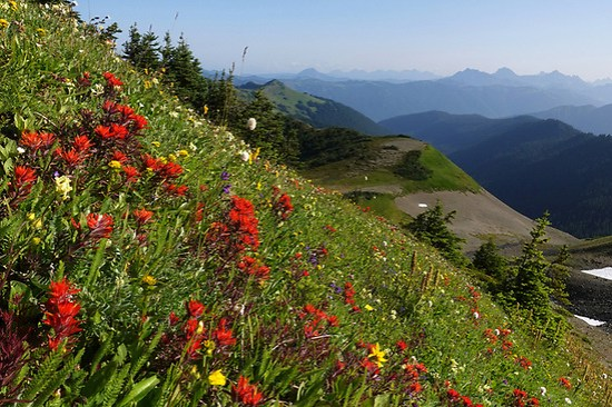 Magenta paintbrush and other alpine meadow wildflowers blooming on Skyline Divide, North Cascade mountains, Washington State, USA (Brad Mitchell)