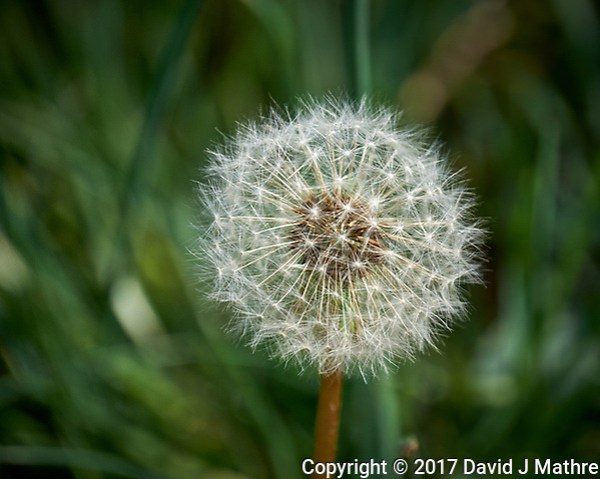 Dandelion seeds in my front yard. Spring in New Jersey. Image taken with a Fuji X-T1 camera and 100-400 mm OIS lens (ISO 200, 400 mm, f/5.6, 1/350 sec). (David J Mathre)