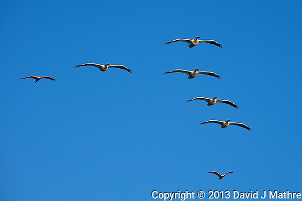 Two Roseate Spoonbills in a Formation of Pelicans. Merritt Island National Wildlife Refuge. Image taken with a Nikon D700 and 28-300 mm VR lens (ISO 200, 300 mm, f/11, 1/500 sec). (David J Mathre)