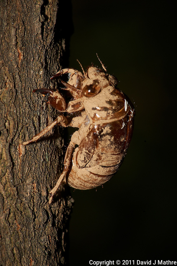 Cicada Exoskeleton Post Final Molt. Backyard Summer Nature in New Jersey. Image taken with a Nikon D3x and 105 mm f/2.8 VR macro + TC-E III teleconverter (ISO 100, 210 mm, f/22, 1/60 sec) and SB900 flash. (David J Mathre)