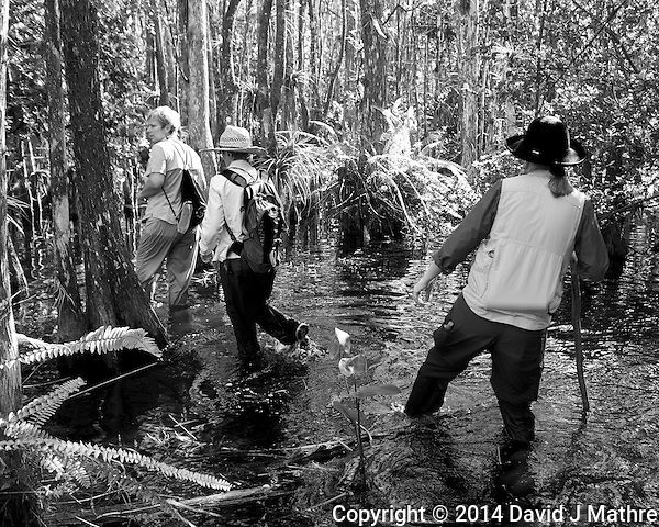 Feet are now wet. Swamp walk with Kristen and Angela in the Everglades behind  Clyde Butcher's Big Cyprus Gallery. Image taken with a Leica X2 camera (ISO 100, 24 mm, f/3.5, 1/50 sec). (David J Mathre)