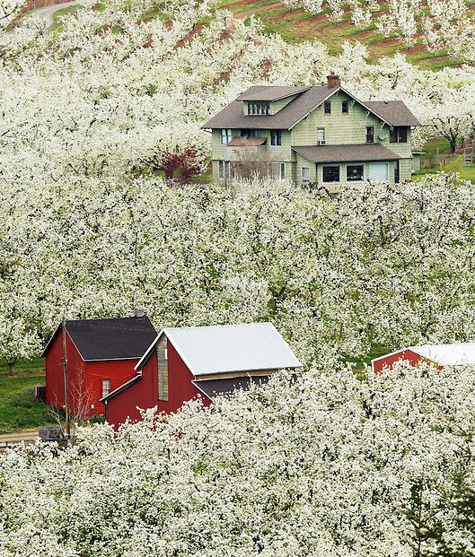 Home and red barn in flowering orchard, Hood River, Oregon, USA (Brad Mitchell)
