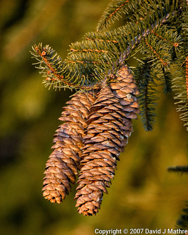 Pine cones in the late afternoon sun. Backyard winter nature in New Jersey. Image taken with a Nikon D2xs camera and 80-400 mm VR lens (ISO 100, 400 mm, f/5.6, 1/125 sec). (David J Mathre)