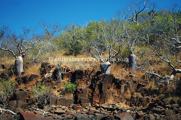 Dwarf boabs on a hillside in Deception Bay in Camden Sound.  The prevailing westerly winds may be responsible for their stunted growth. (Annabelle Sandes/© Annabelle Sandes | Kimberley Media 2010)