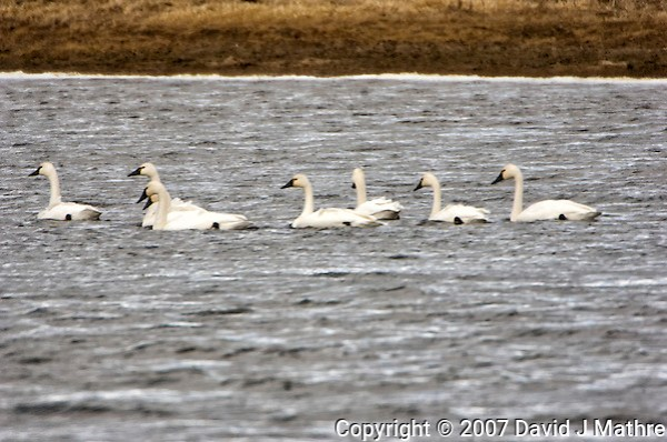 Tundra Swans. Arapaho National Wildlife Refuge. Image taken with a Nikon D2XS and 200-400 mm f/4 VR lens + TCE-II 20 teleconverter (ISO 400, 800 mm, f/8, 1/640 sec). Raw image processed with Capture One Pro 6, Photoshop CS5, Nik Define, Nik Color Efex Pro 2. (David J Mathre)