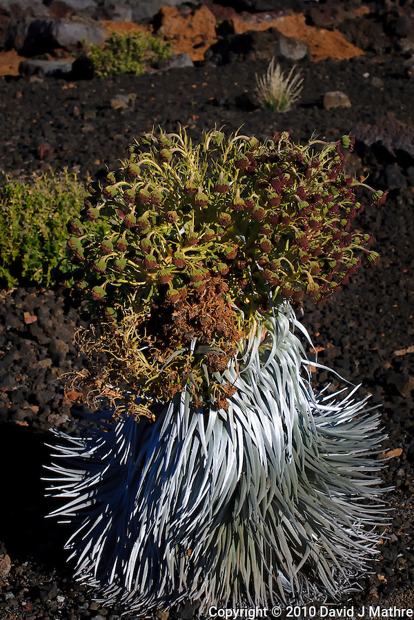 Haleakala Silversword Plant. Image taken in Haleakala National Park. Image taken with a Nikon D3x and 70-300 mm VR lens (ISO 100, 70 mm, f/8, 1/500 sec) (David J Mathre)