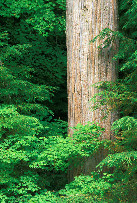 Western red cedar, Cascade Mountains, Washington (Brad Mitchell/Brad Mitchell Photography)