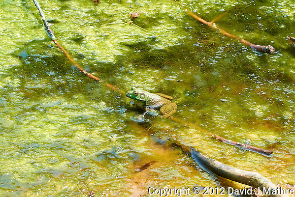 Bullfrog in a Pond at the Sourland Mountain Preserve. Summer Nature in New Jersey. Image taken with a Nikon 1 V1 + FT1 + 70-300 mm VR lens (ISO 200, 70 mm, f/5.6, 1/320 sec) and monopod. FOV Equivalent to 190 mm on a 35 mm image sensor. (David J Mathre)