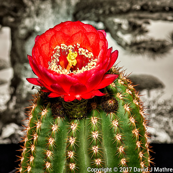 Cactus in Bloom. Indoor spring nature in New Jersey. Image taken with a Nikon Df camera and 105 mm f/2.8 VR macro lens (ISO 100, 105 mm, f/16, 1/30 sec) and SB-900 flash. (David J Mathre)