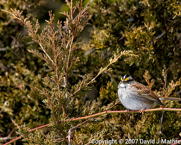 White-throated sparrow on a vine. Backyard winter nature in New Jersey. Image taken with a Nikon D2xs camera and 80-400 mm VR lens (ISO 100, 400 mm, f/7.6, 1/250 sec). (David J Mathre)
