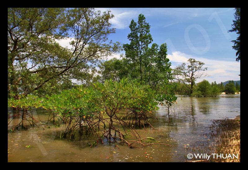 phuket-mangrove