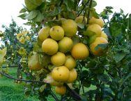 La Regione a sostegno delle aziende reggine del bergamotto con finanziamenti  per oltre tre novecentomila euro