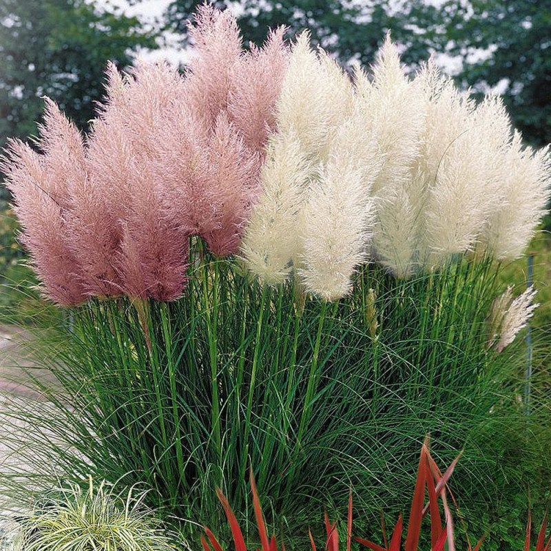 Large Of Pink Pampas Grass