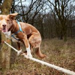 Fastest Crossing of a Tightrope by a Dog Ozzy
