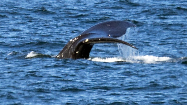 04/20/2016-Nahant,MA. A whale is seen in Nahant Bay, Wednesday afternoon. Staff photo by Mark Garfinkel