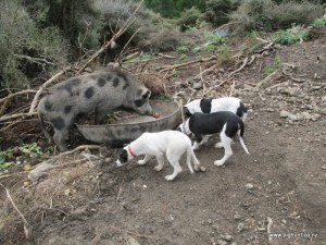 The three litter mates down with Mr Pig
