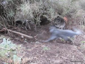 Blue running past Mr Pig