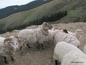 The rams back up on the hill with the other sheep