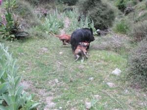 Dusky and Buck bailing the black boar