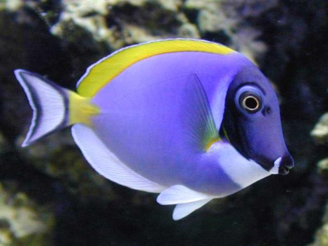 Saltwater aquarium fish photos   Marine tropicals   Pinellas Aquariums