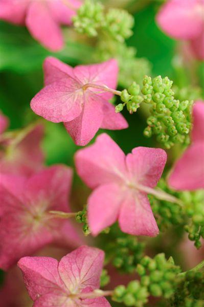 hydrangea antique rose