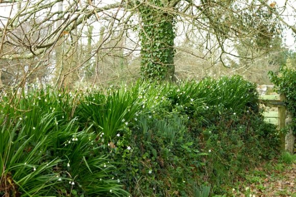 snowdrops planted on top of stone wall