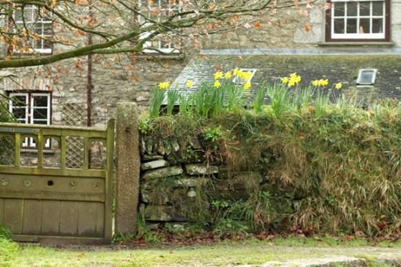 daffodil bulbs planted on top of stone wall cornwall england