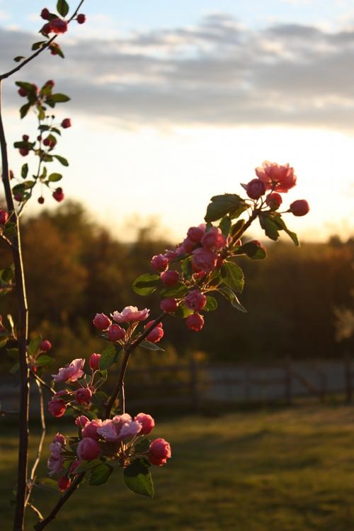 apple blossoms harvard ma
